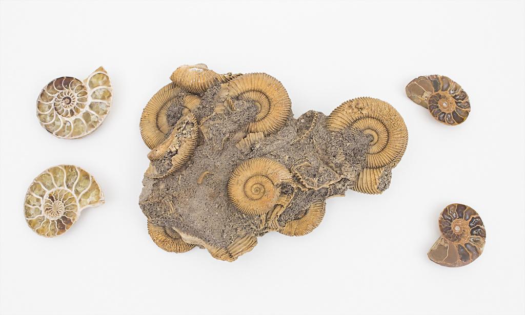 Lot Ammoniten / Ammonites